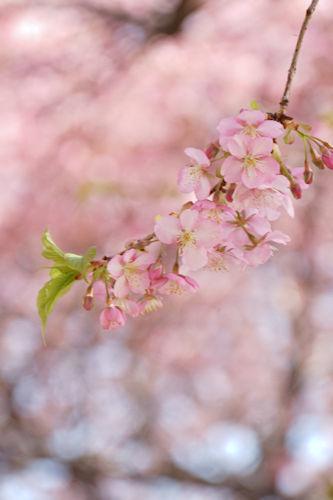 20200224桜4
