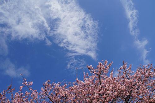 20200224桜5