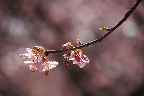 20200224桜6