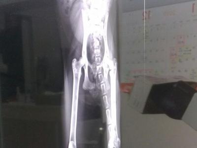 みーちゃんの股関節、術前