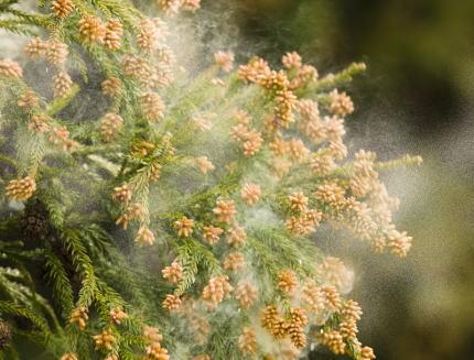 暖冬の影響で花粉の飛散が早まる予報 … 2月中旬には全国的に気温が上昇、既に花粉シーズンに入っている関東地方や東海地方、九州北部などで本格的な飛散が始まる可能性