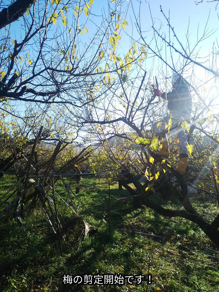 梅の剪定開始です!