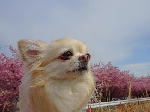 葵桜 柚子