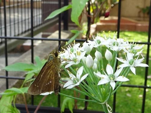 ニラの花とセセリチョウ