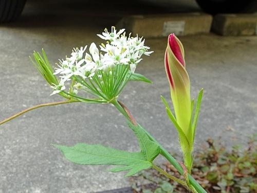 ニラの花と朝顔のつぼみ