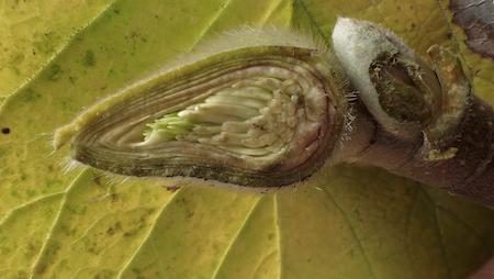 シモクレンの冬芽1