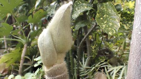 シモクレンの冬芽