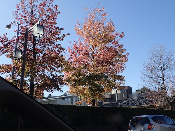 モミジバフウの街路樹