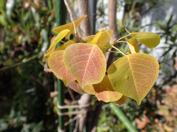 ナンキンハゼ幼木の紅葉