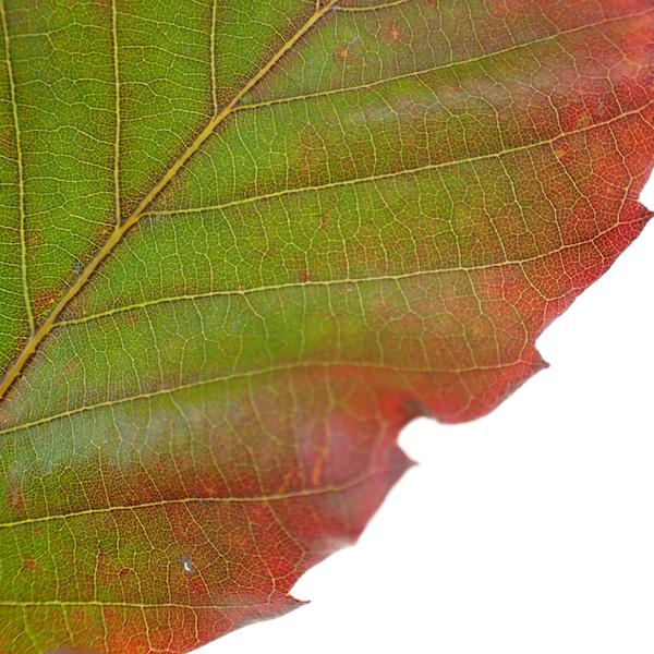 コナラとミズナラの雑種葉の中程