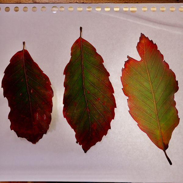 コナラとミズナラの雑種葉表裏