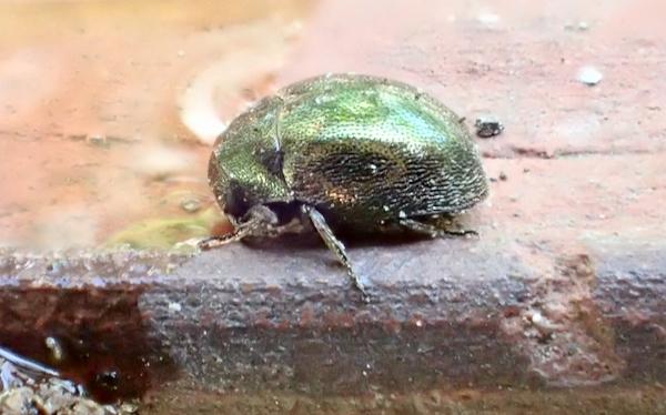 甲虫の仲間