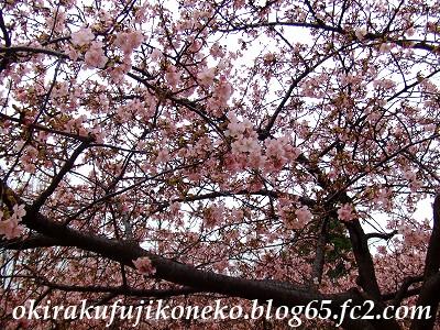0220井沼方桜3