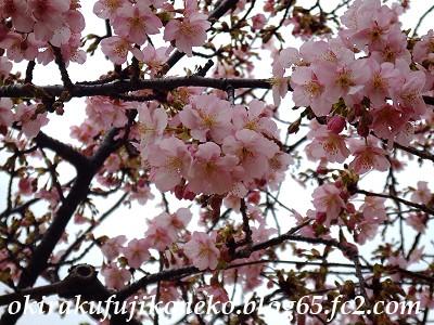 0220井沼方桜4