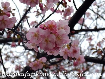 0220井沼方桜5