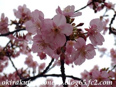 0220井沼方桜6