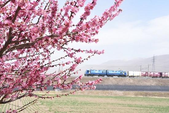2020年3月21日撮影 東線貨物2083レ EH200-16号機と梅の花
