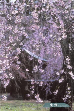 角館 枝垂桜咲く