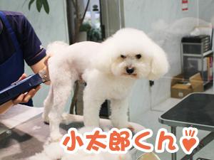 町田駅前徒歩5分のペットショップKAKOでトリミングに来店したトイプードルの小太郎くん