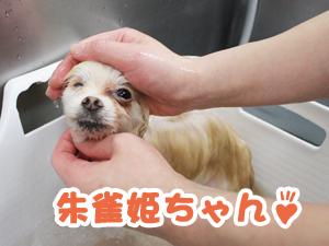 町田駅前徒歩5分のペットショップKAKOでトリミングに来店したポメラニアンの朱雀姫ちゃん