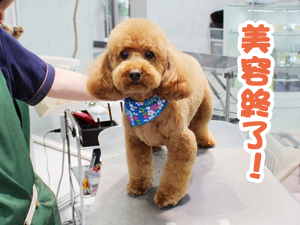 町田駅前徒歩5分のペットショップKAKOでトリミングに来店したトイプードルのチャチャくん