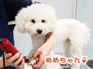 町田駅前徒歩5分のペットショップKAKOでトリミングに来店したトイプードルのめめちゃん