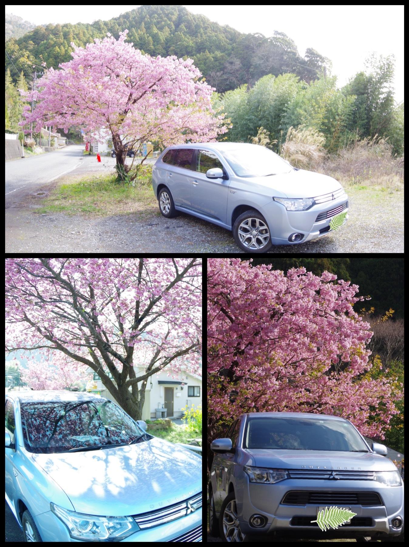 河津桜祭り2020 伊豆河津町 アウトランダーPHEV