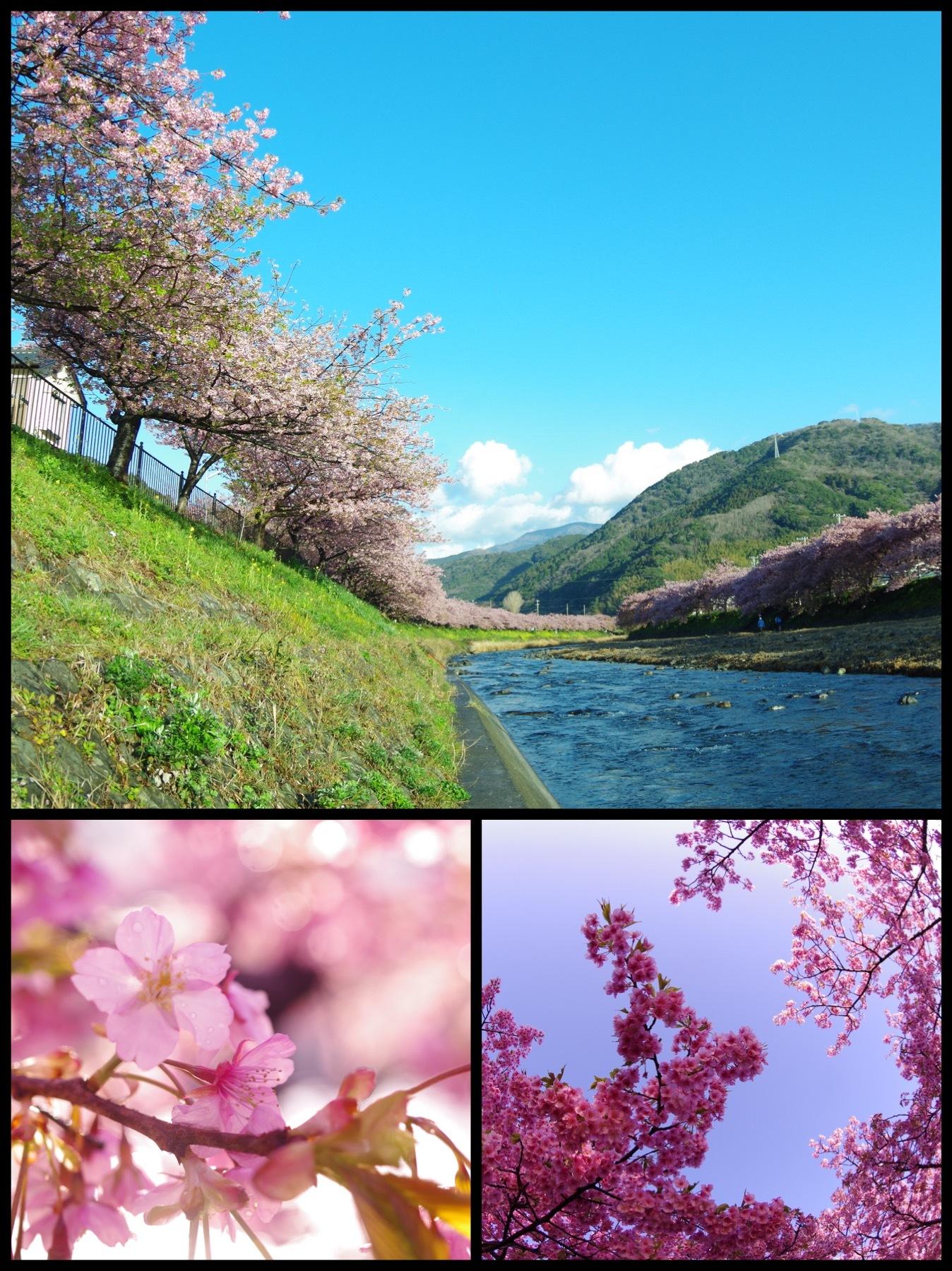 河津桜祭り2020 伊豆河津町