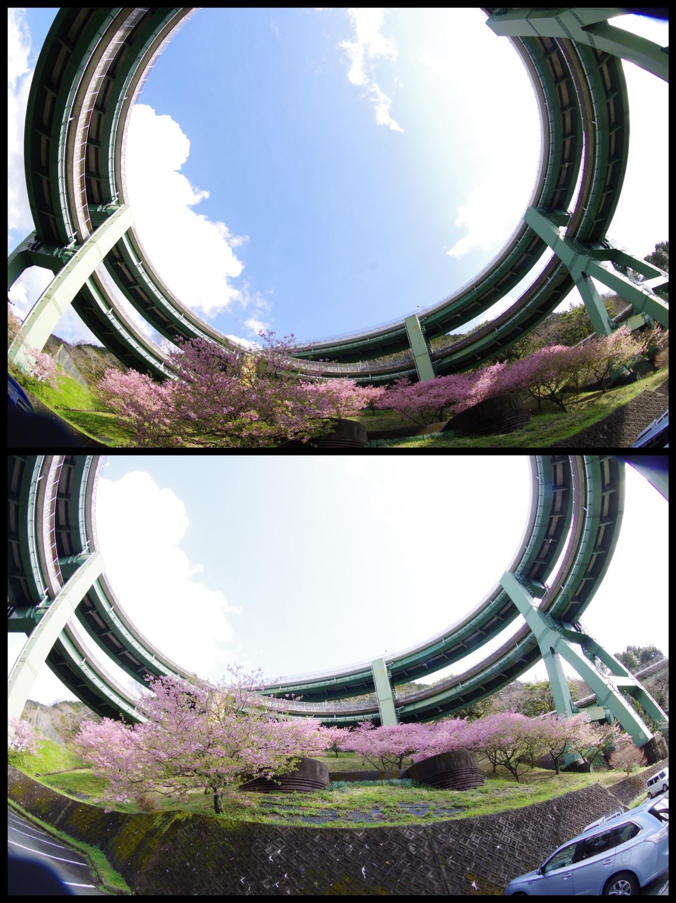 河津桜祭り2020 伊豆河津町  七滝ループ橋