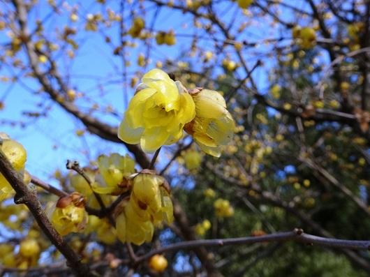 暖冬の蝋梅