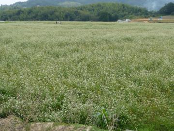 12年まんのう蕎麦畑