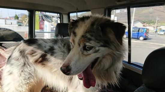 鑑札で飼い主が見つかった犬_20-02-07