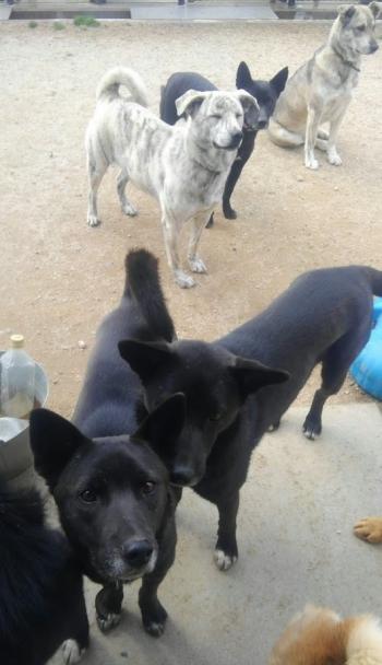 野犬の子犬保護犬003