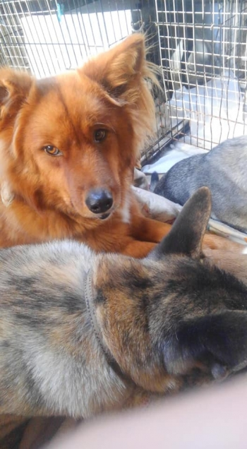 野犬の子犬保護犬004