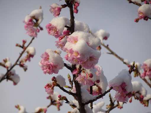 20200218 雪桜