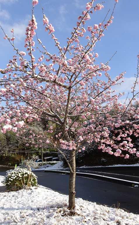 20200218 雪桜②