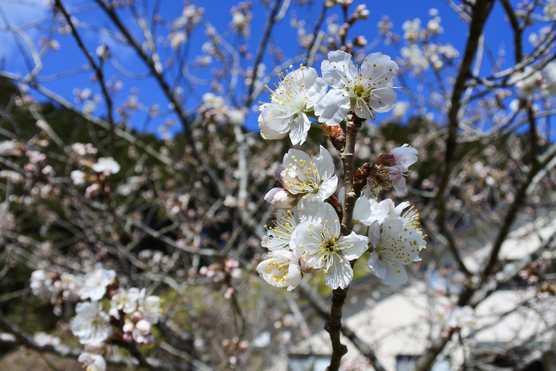 20200229 暖地サクランボの花