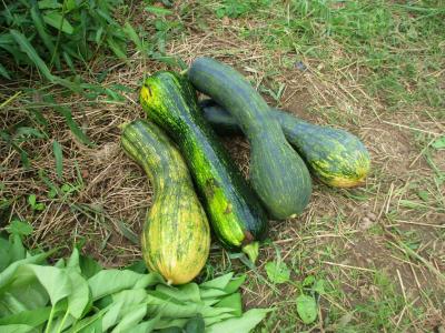 011011収穫した野菜3