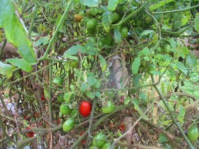 011022トマト