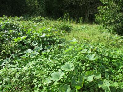011022雑草の中のカボチャ
