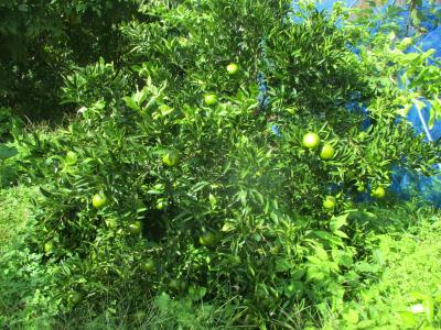 011022柑橘