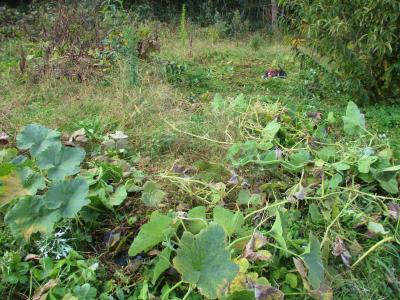 011122瓢箪かぼちゃ撤収と草刈り1
