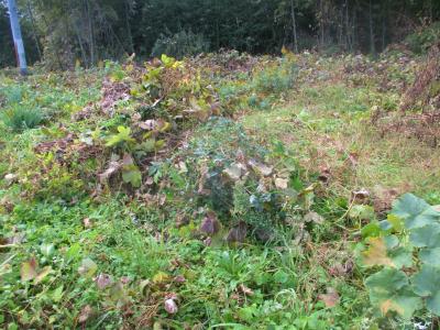 011122瓢箪かぼちゃ撤収と草刈り2