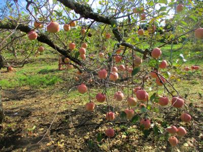 011130リンゴ
