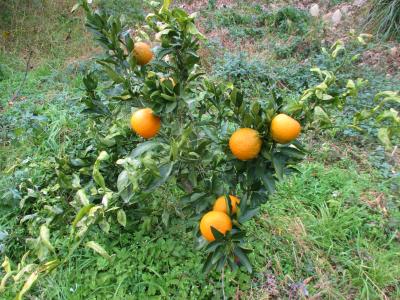 011215柑橘3