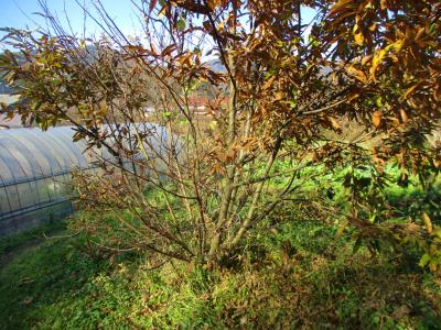011216枝が多すぎる栗の木