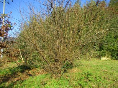 011216枝だらけの梅の木