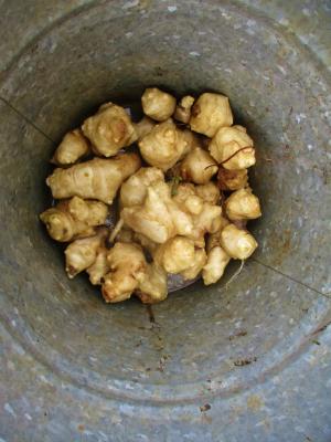 011228菊芋収穫