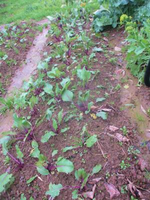 200119紅菜苔