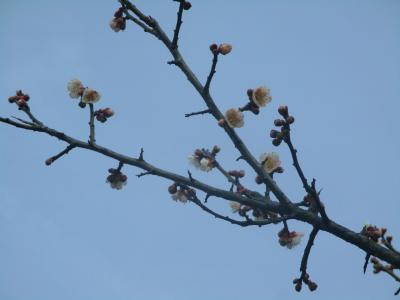 200126梅の花が咲いた